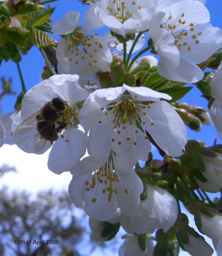 Biene im Kirschbaum - Bee in Cherry Tree